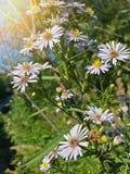 Красивые одичалые белые цветки стоцвета Стоковые Изображения RF