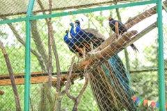 Красивые павлины в зоологическом саде стоковое изображение rf