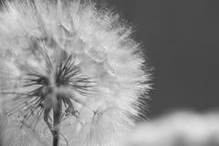 Красивые падения росы на одуванчике осеменяют макрос Красивая мягкая голубая предпосылка Падения воды на одуванчике парашютов ско Стоковое фото RF