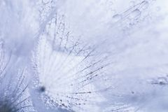 Красивые падения росы на одуванчике осеменяют макрос Красивая мягкая голубая предпосылка Падения воды на одуванчике парашютов ско Стоковое Изображение