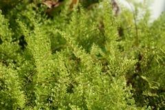 Красивые папоротники выходят зеленой листве естественная флористическая предпосылка папоротника Стоковое Изображение RF