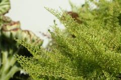 Красивые папоротники выходят зеленой листве естественная флористическая предпосылка папоротника Стоковое Изображение