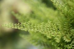 Красивые папоротники выходят зеленой листве естественная флористическая предпосылка папоротника Стоковые Изображения