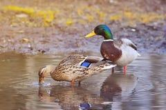 Красивые пары птиц и утки утка ища еда весной Стоковое Изображение