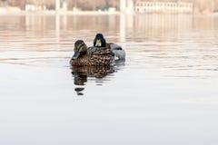 Красивые пары утки и селезня плавают на реке Стоковые Фотографии RF