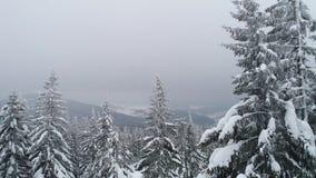 Красивые пасмурные ели зимы сток-видео