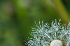 Красивые падения росы на одуванчике осеменяют макрос Стоковые Изображения
