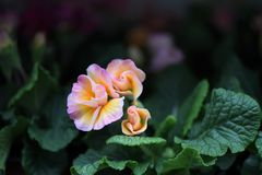 Красивые первоцветы весеннего времени с чувствительными розовыми и желтыми лепестками оборки Стоковые Изображения