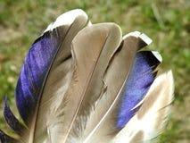Красивые пер птиц голубя, Литва стоковая фотография