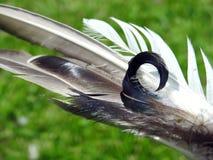 Красивые пер птиц голубя, Литва стоковое изображение