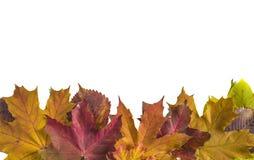 Красивые пестротканые кленовые листы стоковая фотография