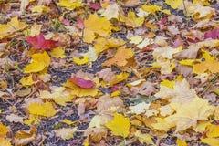 Красивые пестротканые листья осени стоковое фото