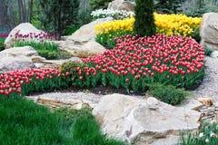 Красивые 2 покрасили, красный и белый flowerbed тюльпанов Стоковое Фото