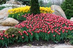 Красивые 2 покрасили, красный и белый flowerbed тюльпанов Стоковые Изображения RF