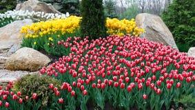 Красивые 2 покрасили, красный и белый flowerbed тюльпанов Стоковое Изображение