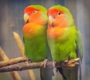 Красивые покрашенные любовники попугая пар Стоковые Фото