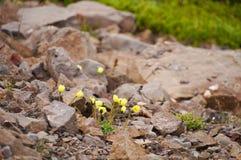Красивые полевые цветки в Исландии Стоковые Фото