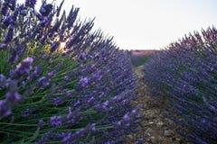 Красивые поля лаванды на времени захода солнца Valensole Провансаль стоковые фотографии rf