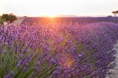 Красивые поля лаванды на времени захода солнца Valensole Провансаль стоковая фотография rf