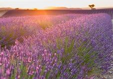 Красивые поля лаванды на времени захода солнца Valensole Провансаль стоковые изображения