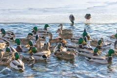Красивые поплавки утки мандарина на озере или реке Окруженный много других уток стоковое фото