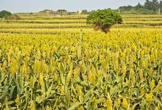 Красивые поля сорго Стоковое Изображение