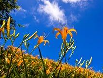 Красивые поля цветка лилии в Hualien, Тайване Стоковые Изображения