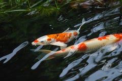 Красивые причудливые рыбы карпа Стоковое Изображение