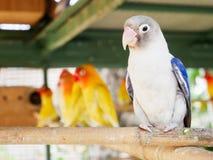 Красивые птицы влюбленности Стоковое фото RF