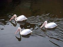 Красивые птицы пеликана плавая на воду, Литву Стоковая Фотография RF