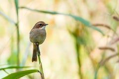 Красивые птицы, птица Таиланда Стоковое Изображение