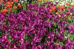 Красивые пурпурные тюльпаны попугая в весеннем времени стоковое изображение