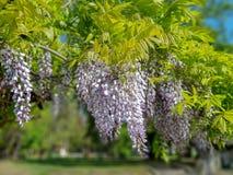 Красивые пурпурные цветки сирени вися на дереве outdoors стоковые фото