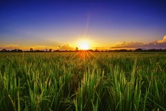 Красивые рисовые поля и рис земледелия ландшафта обрабатывают землю на заходе солнца стоковые изображения rf