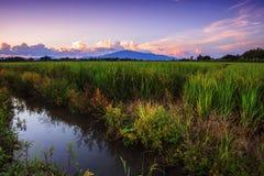 Красивые рисовые поля и рис земледелия ландшафта обрабатывают землю на заходе солнца стоковые фото