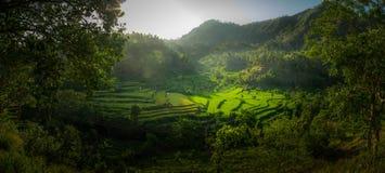 Красивые рисовые поля Стоковые Изображения