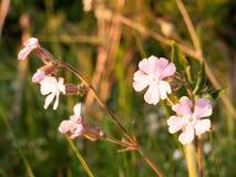 Красивые розовые головы цветков в луге встают на сторону в looki заходящего солнца Стоковое Изображение RF