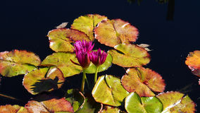 Красивые розовые лилии воды плавая на воду Стоковое фото RF