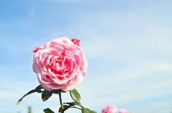 Красивые розовые лепестки розы с падениями воды Стоковое фото RF