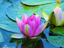 Красивые розовые лилии воды на пруде Стоковое Изображение