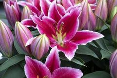 Красивые розовые лилии в парке стоковые фото