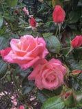 Красивые розовые розы зацветая с падениями дождя Стоковые Фотографии RF