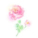 Красивые розовые цветки, акварель, изолированная на белизне Стоковая Фотография