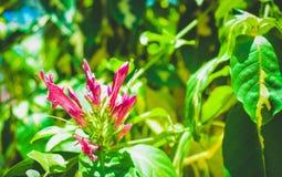 Красивые розовые цветки зацветают Загорать утра стоковые фото