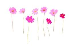 Красивые розовые цветки изолированные на белой предпосылке стоковые фотографии rf