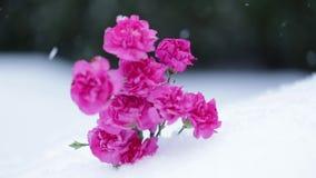 Красивые розовые цветки и снежинки падая на ландшафт снега движение медленное акции видеоматериалы