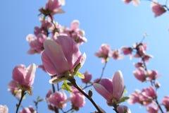 Красивые розовые цветки магнолии на ветви Стоковые Фото