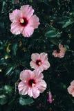 Красивые розовые цветки Розы гибискуса Стоковое Изображение RF