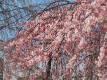Красивые розовые цветки Сакуры в Японии Стоковые Фотографии RF