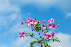 Красивые розовые цветки, свежий цвет с облаком и предпосылка голубого неба Стоковые Изображения
